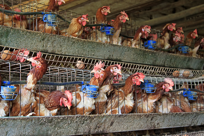 battery farmed chickens In the uk, however, the largest factory farms are a newer phenomenon  then  a company called buxton chickens imported factory-farming.