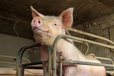 Pigs in Crates